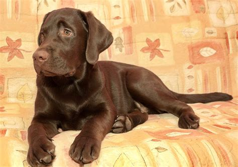 4 month lab puppy weight 4 month labrador retriever and health care