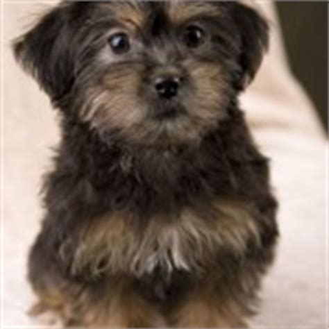 yorkie poo temperament yorkie poo puppies rescue pictures information temperament characteristics