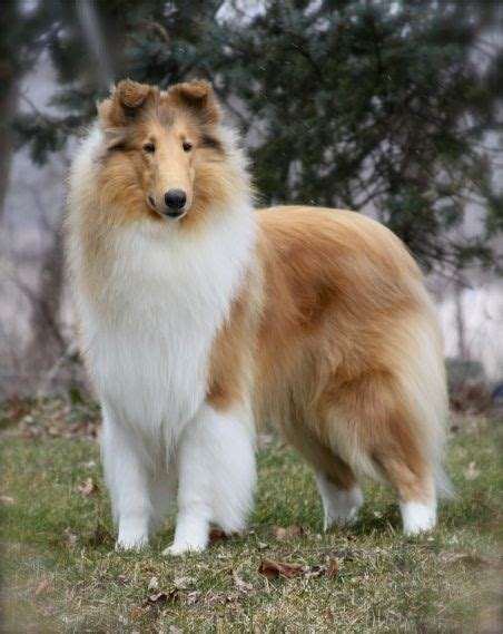 collie puppies for sale in ohio 25 best ideas about collies for sale on collie puppies collie and