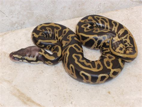 ball python bedding 100 ball python bedding ball python reptiles rehome
