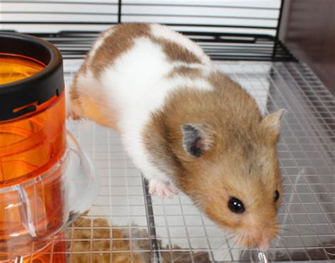 Hamster Kitchen by Qute Hamster Gerbil Cage Stylish Hamster House