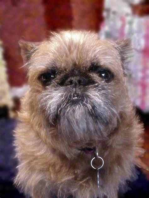 chewbacca puppy 10 dogs that look like chewbacca weknowmemes
