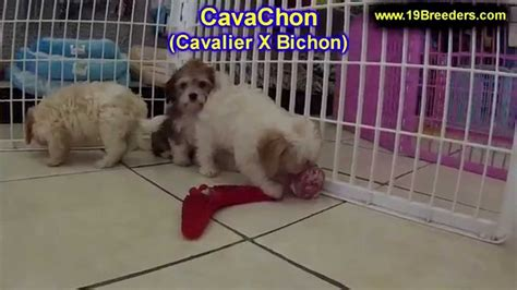 cavachon puppies for sale in indiana cavachon puppies for sale in south bend indiana county in allen hamilton st