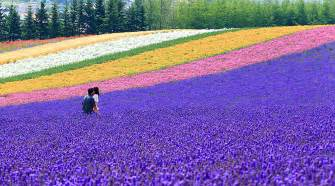 Beautiful Flowers Images lavender hokkaido colorful fields of flowers planted at