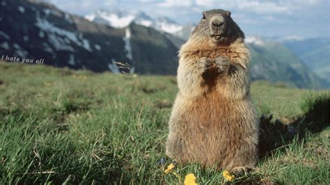 groundhog day italian groundhog wallpapers wallpaper cave