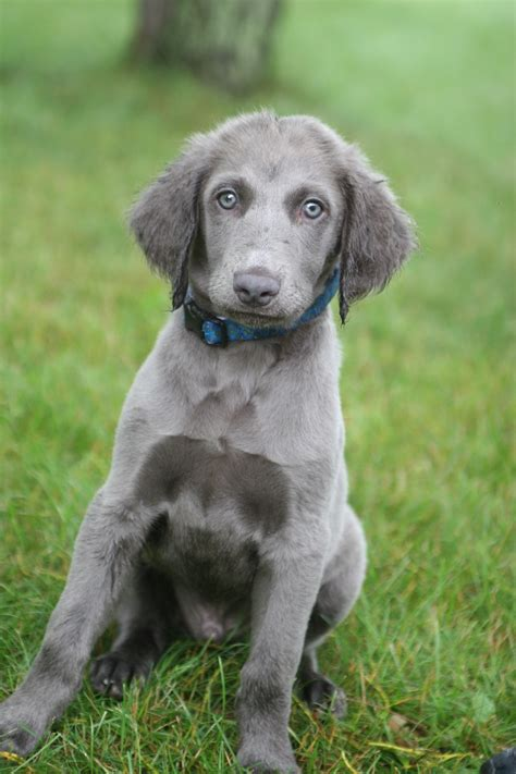 haired weimaraner puppies 91 best images about haired weimaraner on the play mate and