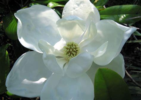 imagenes de magnolias blancas magnolias blancas im 225 genes y fotos