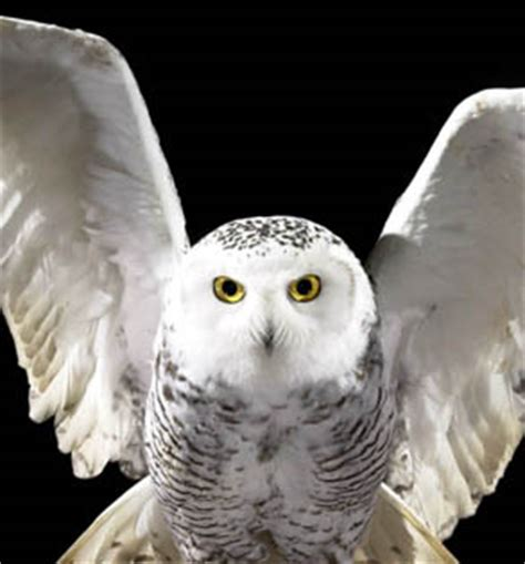 Snowy Owl Hedwig Papercraft By - hedwig jpg