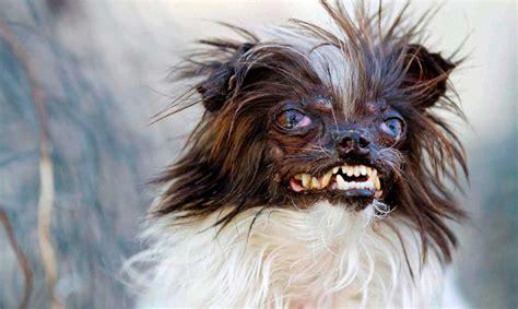 imagenes animales mas feos del mundo peanut el perro m 225 s feo del mundo