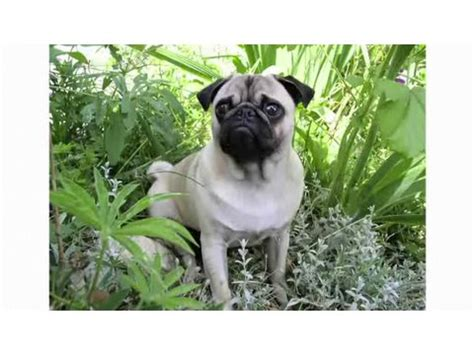 pug pros and cons pros cons of a pug breeds