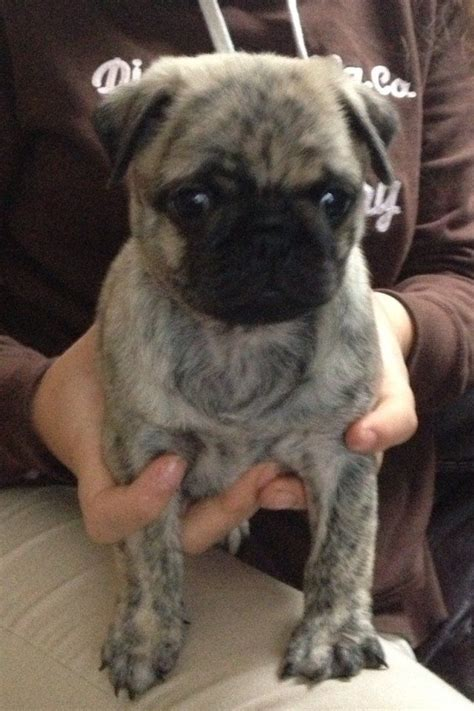 brindle pug for sale uk pug brindle puppy chelmsford essex pets4homes