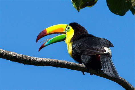 Toucan L by Keel Billed Toucans Pico Bonito National Park Honduras