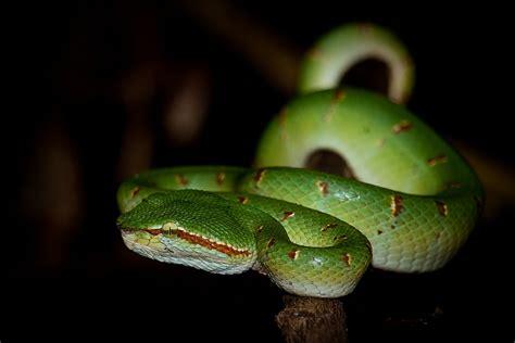 Borneo Cewe schlange borneo foto bild tiere wildlife hibien