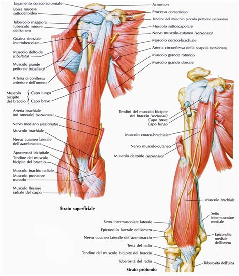 dolore interno dolore al braccio dovuto ai muscoli epitrocleari come si cura