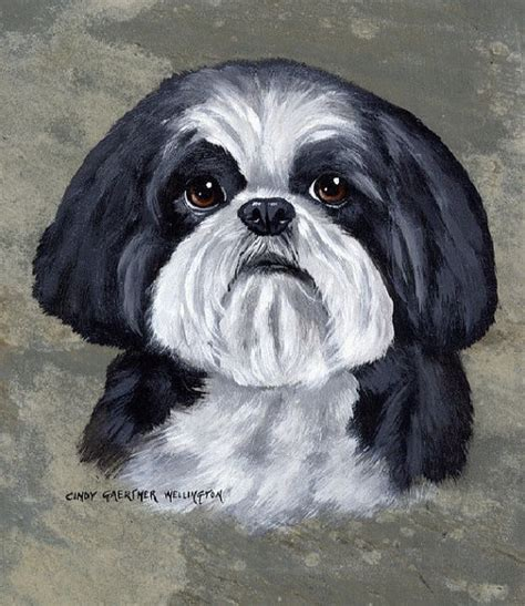 baby shih tzu black and white black and white shih tzu shih tzus because they are so dogs