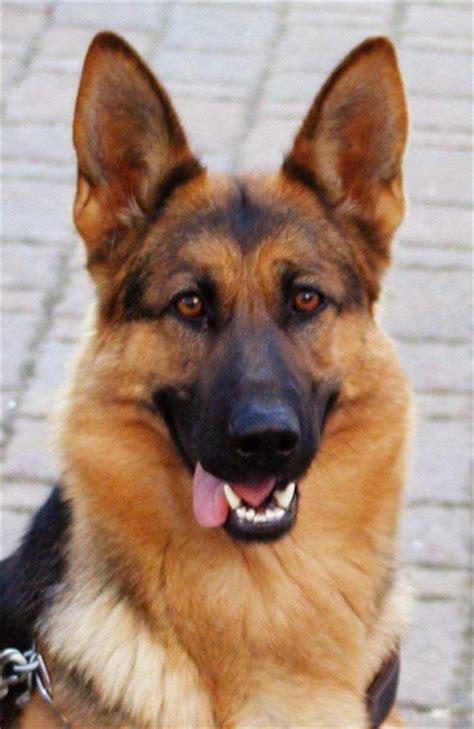 german shepherd puppies for adoption in nj view ad german shepherd for adoption new jersey rockaway usa