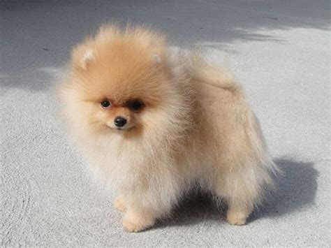 where do pomeranians live 17 best ideas about puppies for sale on teacup