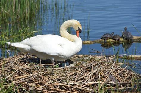 Swan Aq it s swan versus swan in recovering hamilton harbour thespec