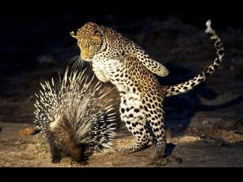 attacked by porcupine defense by porcupine against leopard attack