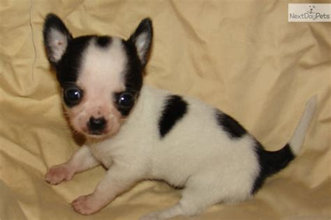 applehead chihuahua puppies tiny applehead chihuahua puppies images