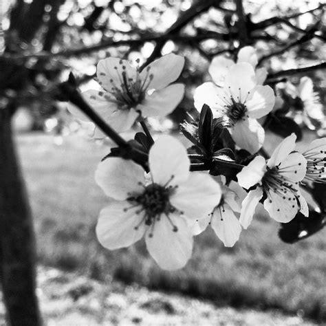 fiori in bianco e nero la primavera in bianco e nero unafotoalgiorno fiori bw