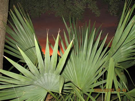zone 8 tropical plants growing cold hardy palms and tropicals hardy subtropical
