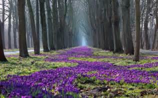 Spring Landscape Crocus In The Park Spring Landscape Hd Wallpaper By