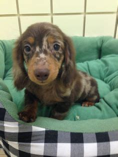 puppy store boca raton 1000 images about puppies boca raton on puppy store puppies for sale and