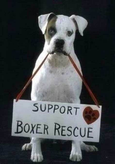 boxer puppies rescue 3507 best i my boxers images on
