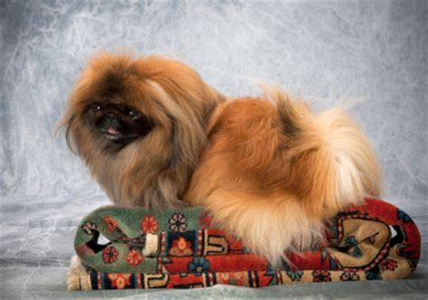 can dogs eat pumpkin can dogs eat pumpkin seeds is it for your pekingese