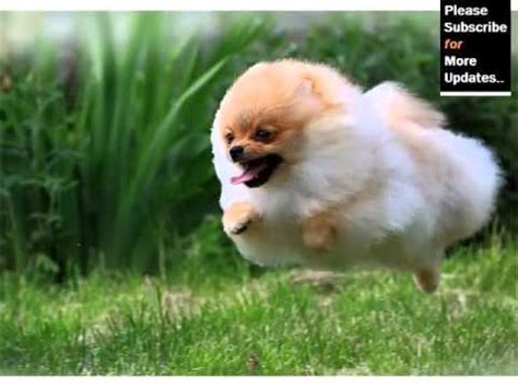 types of pomeranian breeds pomeranian breed type pomeranian breed set of picture ideas