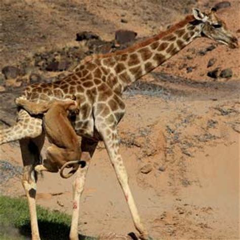 imagenes de leones cazando jirafas jirafa atacando a leona videos de animales