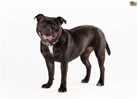 staffordshire terrier puppy staffordshire bull terrier breed information buying advice photos and facts