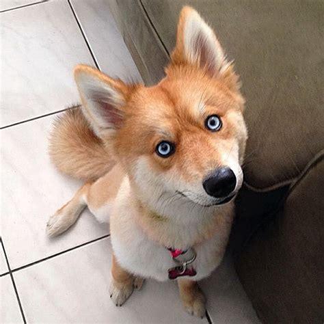 conheca  cao raposa mistura de spitz alemao  husky