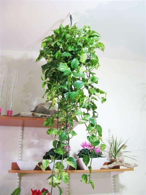 hängende pflanzen h 228 ngende pflanzen als indoor dekoration