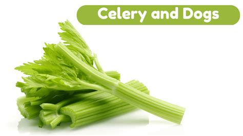 is celery for dogs can dogs eat celery smart owners