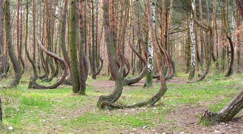 the crooked forest of gryfino poland gryfino poland s crooked forest photos