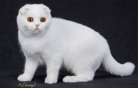 cat breed white cat breeds purrfect cat breeds