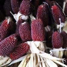 Bibit Jagung Popcorn benih jagung ungu purple corn