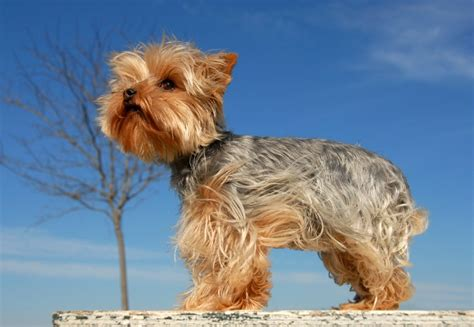 how to a yorkie puppy to outside how piper saved the of timothy s 13 year piper