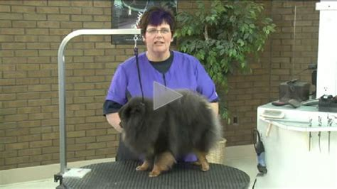how is a pomeranian 12 minutes grooming the pet pomeranian like a show part 1 of 3 part series