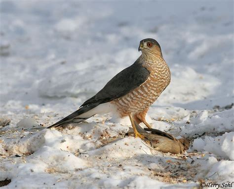 sharp shinned hawk pinterest discover and save creative ideas