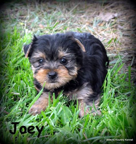 yorkie shire mo terrier puppy for sale york shire puppies pups breeders yorkies yorkie