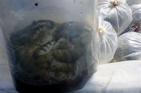 Kerang Abalon melestarikan kerang laut abalon yang sangat mahal di meja