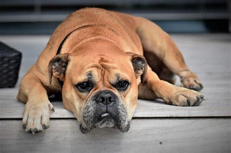 prednisone for dogs prednisone for dogs corticosteroids as allergy treatment