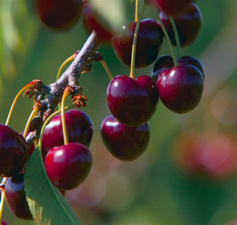 cherry tree utah 10 things you didn t about cherries farm flavor