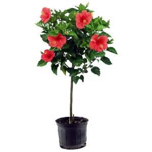 costa nursery hibiscus sur tige r 233 no d 233 p 244 t