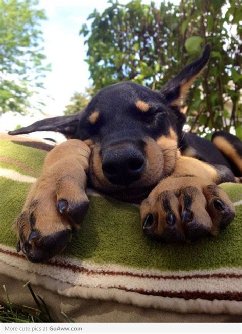 how much are doberman puppies 75 best images about doberman on doberman pinscher sweet and signs