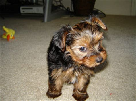 how often should a yorkie puppy eat feeding your yorkie