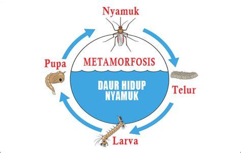 Gambar Dan Raket Nyamuk metamorfosis nyamuk urutan proses tahapan dan gambarnya